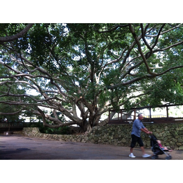 An amazing tree at eumundi
