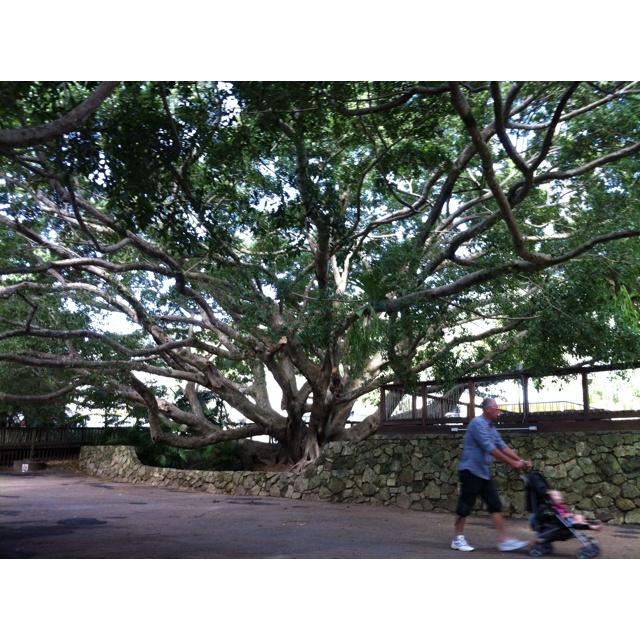 An amazing tree at eumundi