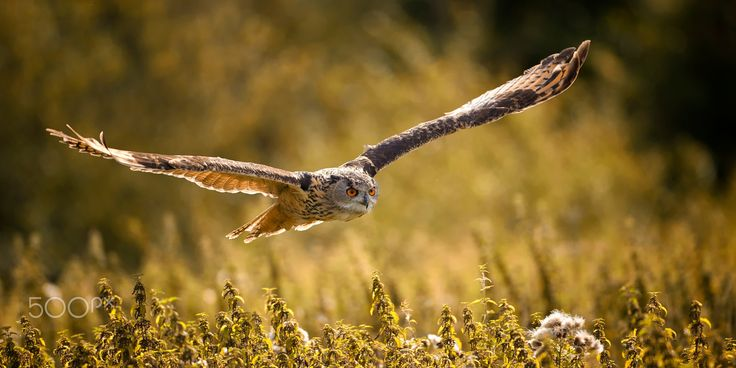 Eagle Owl flight - eagle owl in the flight over the fields
