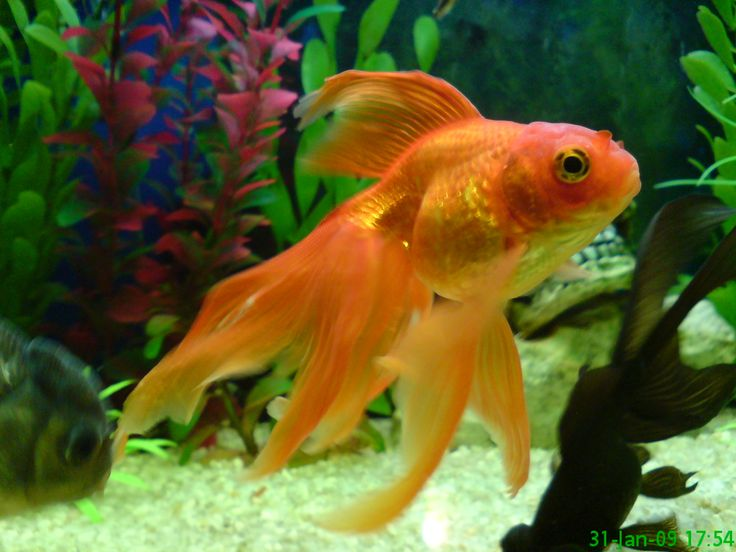 25 Best Ideas About Goldfish For Sale On Pinterest