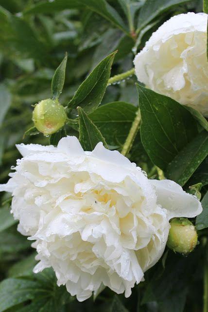 Versoja Vaahteramäeltä: kiinanpioni  Paeonia lactiflora ´Duchesse de Nemours`