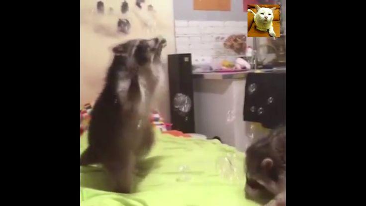 Fofura total Dois Guaxinins brincando com bolhas de sabão