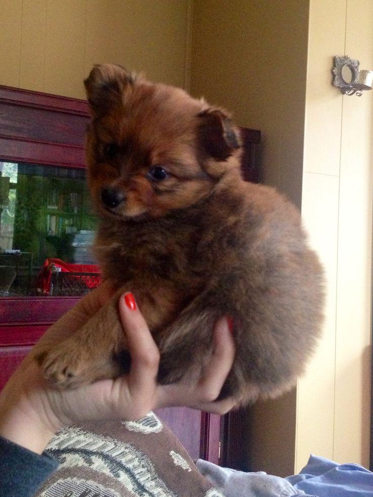 Chihuahua Pomeranian Yorkie mix puppy