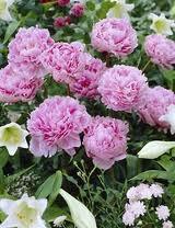 Kiinanpionien kukinta-aika riippuu kasvupaikasta. Se vaihtelee samankin puutarhan puitteissa.