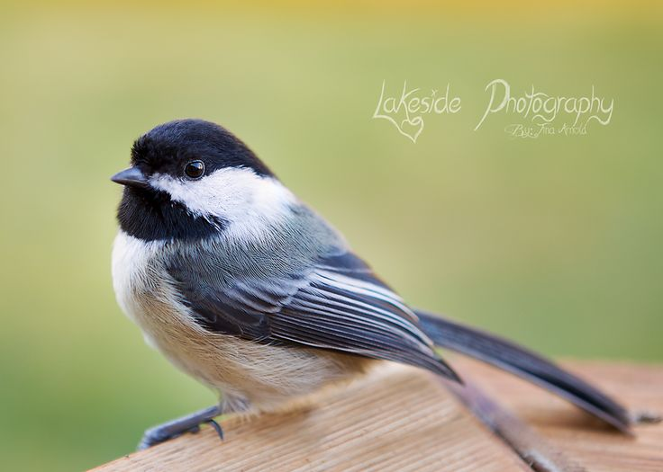 Morning visitor... Washington birds. Spring  http://www.lakesidephotographyby-tinaarnold.com/Landscapes/ https://www.facebook.com/pages/Lakeside-Photography/131249256979838