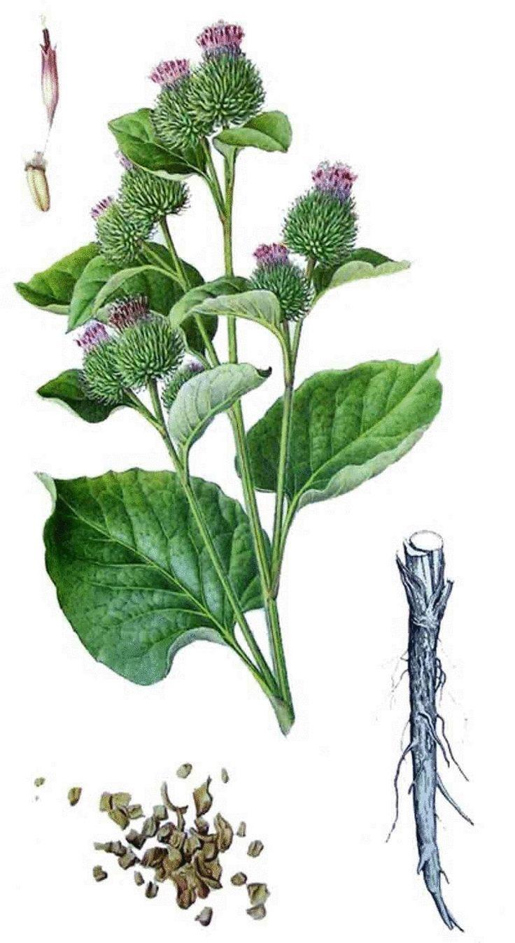 Лопух большой (репейник) - одно из самых распространенных растений, он издавна известен своими очистительными свойствами при заболеваниях печени, почек и селезенки; содержит лактон