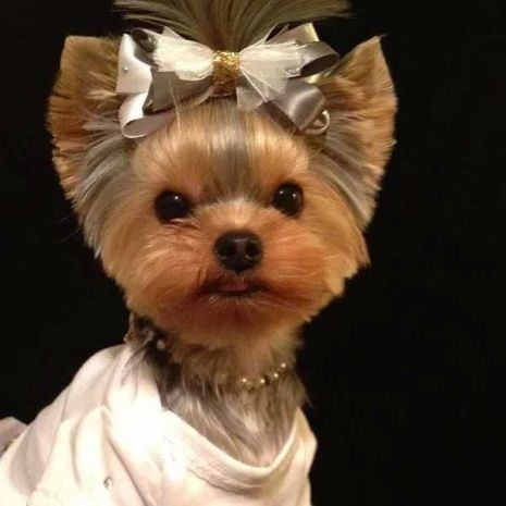 female yorkie haircuts best 25 yorkie haircuts ideas on 3159 | 21b1bda13da112d85c3c12014a0ba07d