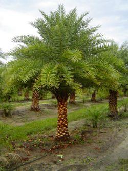Sylvester Palm Trees 125 Trunk Foot Randy Sexton Jr