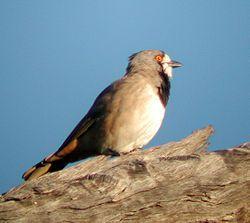 El silbador campanillero (Oreoica gutturalis) es una especie de ave de tamaño mediano. Pertenece a la familia Oreoicidae y es endémica de Australia.2 Su nombre en lengua aborigen, panpanpanella, hace referencia a su canto que se asemeja al de un cencerro de vacuno
