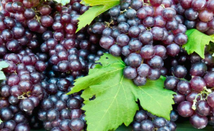 Óleo de semente de uva e os seus benefícios à saúde