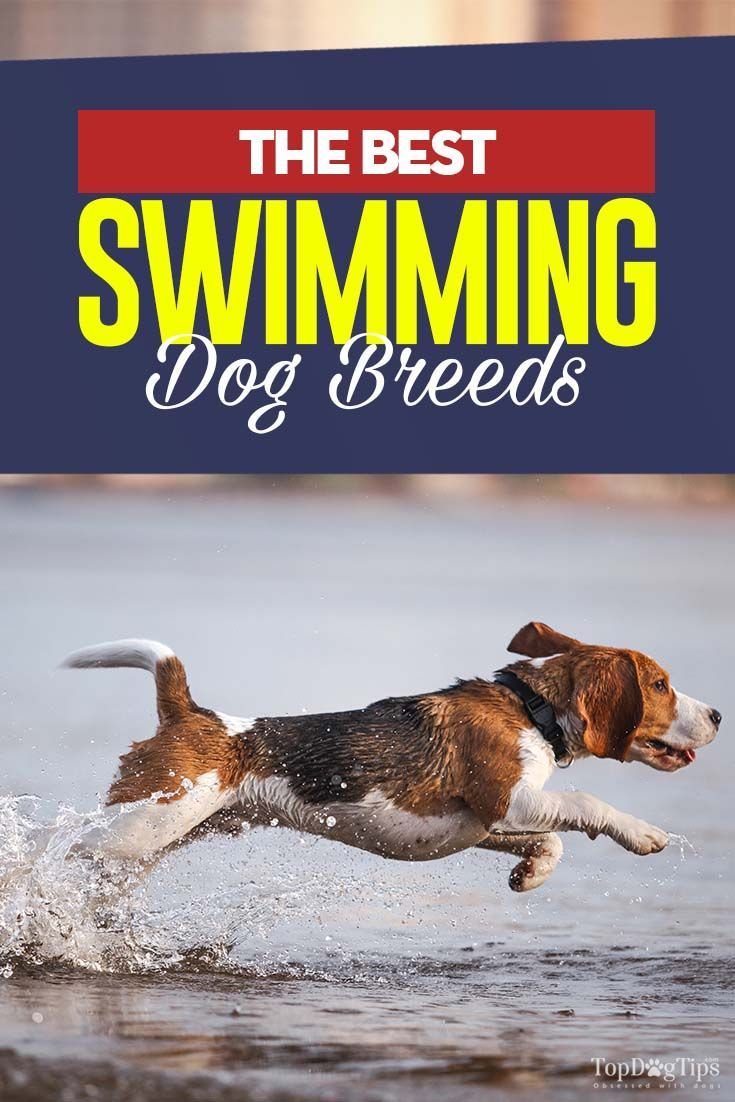 20 Dogs That Are Best At Swimming Water Dog Breeds Cute Dog Collars Dog Swimming