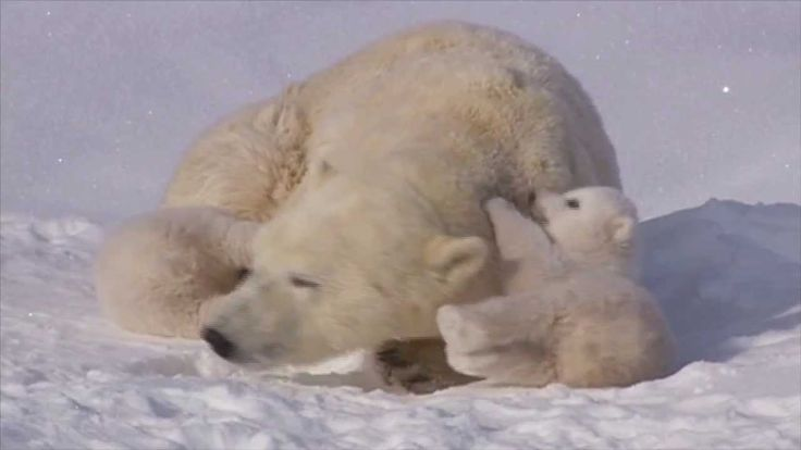 POLAR BEAR LOVE: Cute polar bear cubs lovin' up their mom. Oh so adorable!!! video 1:55min.