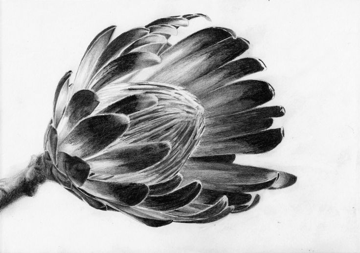 How to draw protea flowers