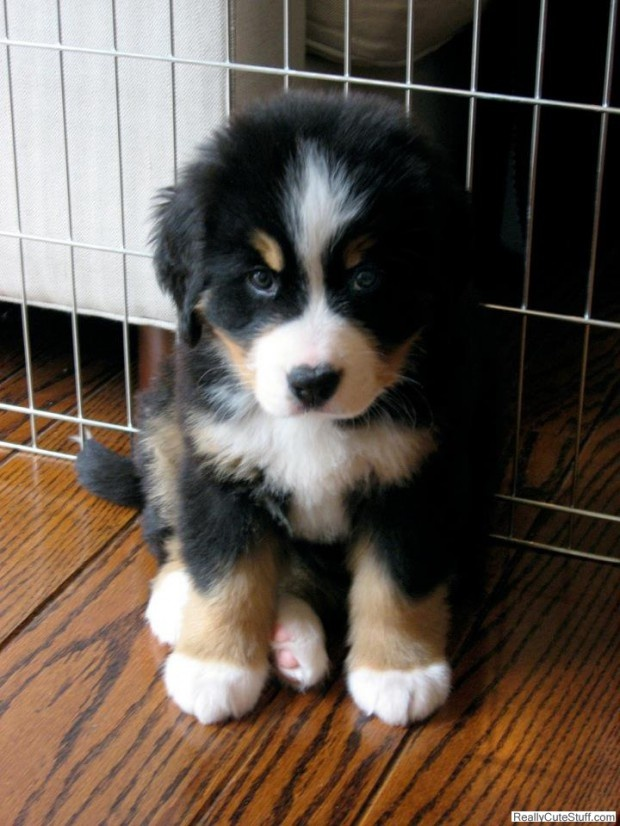 Bernese pup.. always wanted one! He will protect my farm :)