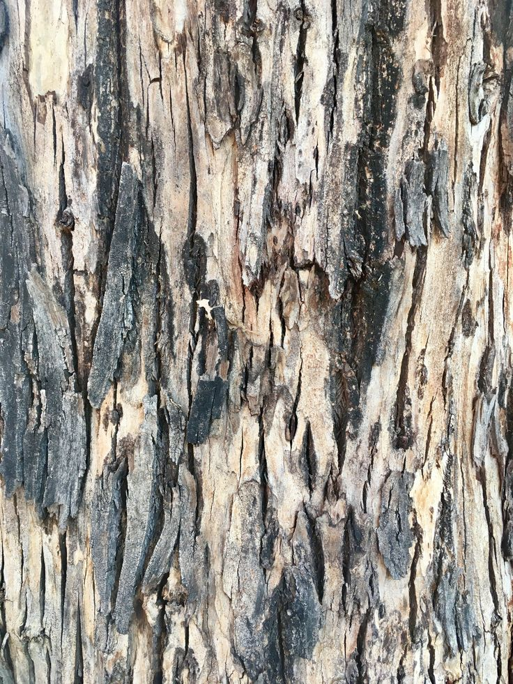 Murray river red gum tree myrtle family Trees Bark