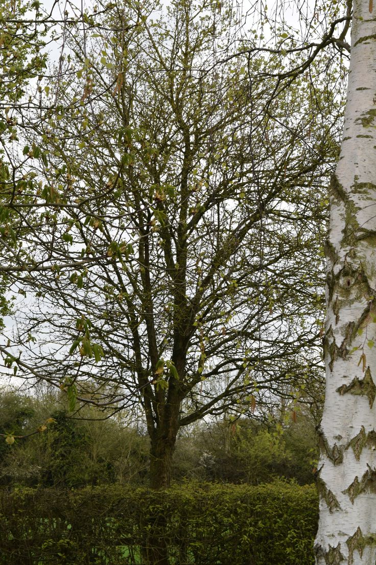 silver birch tree at Lodge Lake, Milton Keynes www.growwithblossom.co.uk