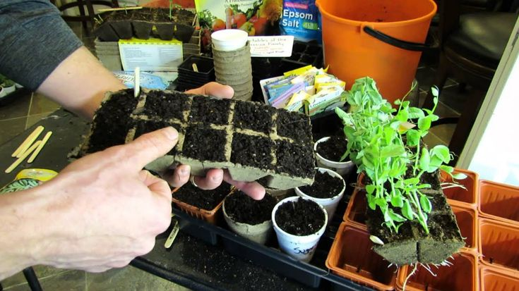 Growing peanuts in a cold climate laidback gardener