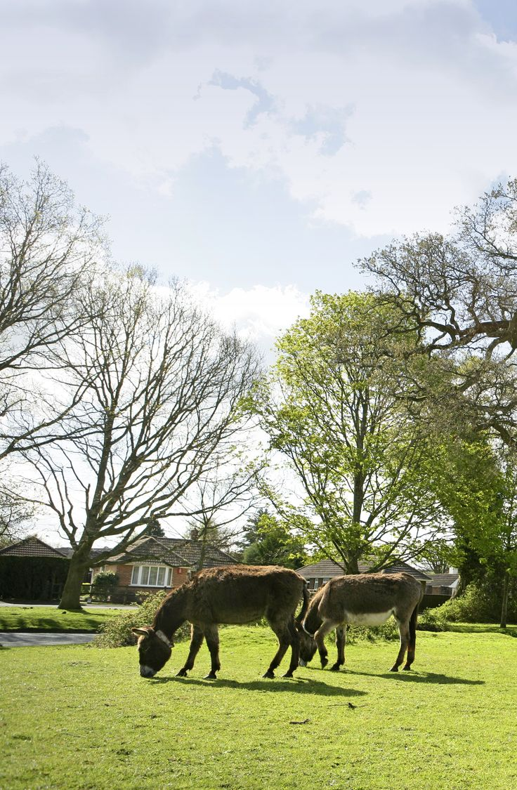 Donkeys in Brockenhurst