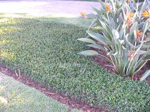 Asiatic Jasmine Gardens Pinterest Jasmine Plants