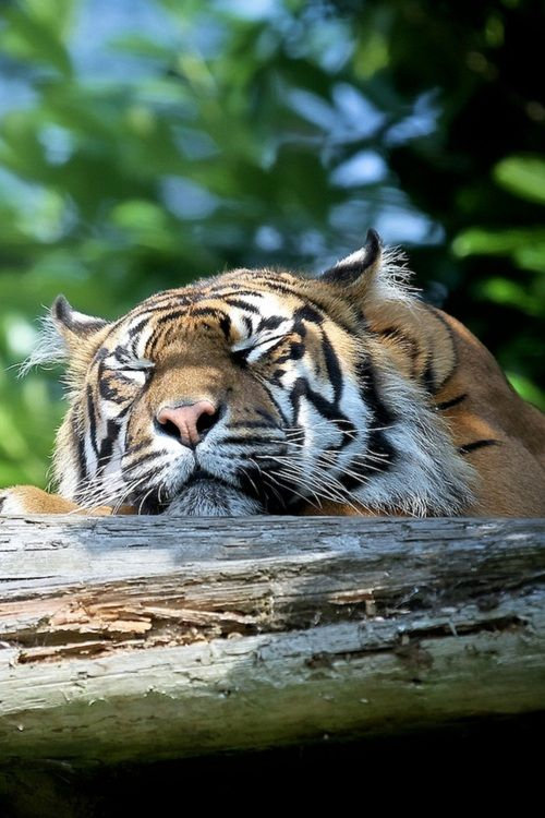 4187 best images about Wild 'n' Wonderful on Pinterest   Big cats, Jaguar and Tigers