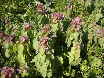 Lamier pourpre comestible en cuisine cuisine sauvage - Cuisine plantes sauvages comestibles ...
