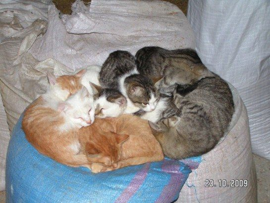 Koty   SABATÓWKA