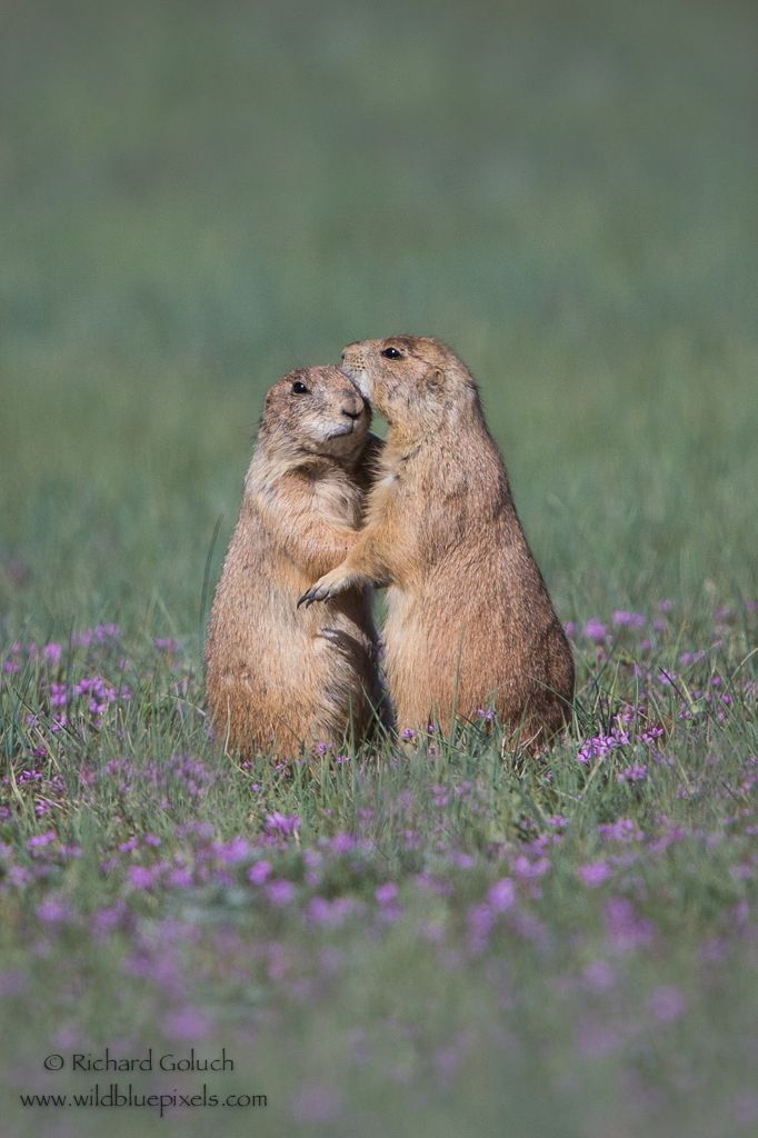 Pair of Prairie Dogs in the field.