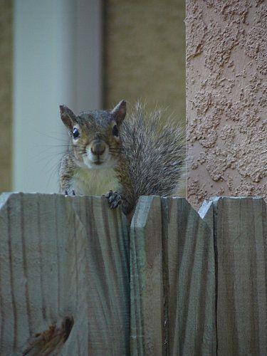 Floride - écureuil gris qui nous accueille le jour de notre arrivée dans notre location http://tricotdamandine.over-blog.com/tag/voyage%20en%20floride%20-%202012/2