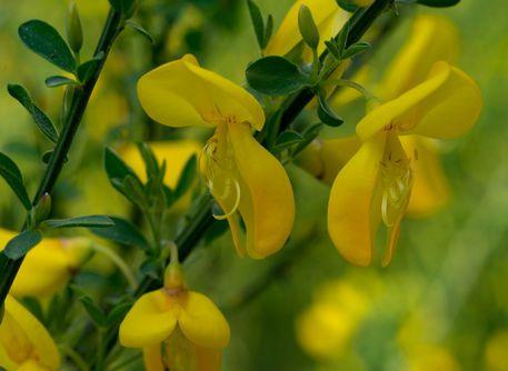 'Die gelben Blüten des Besenginster' von Ronald Nickel bei artflakes.com als Poster oder Kunstdruck $6.48