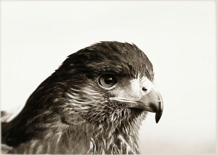photography © Àlex Reig 2014 #photography #bird #art #eagle