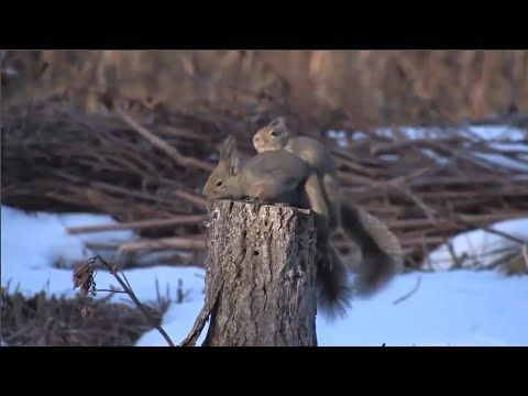 تزاوج الحيوانات البرية فيديو