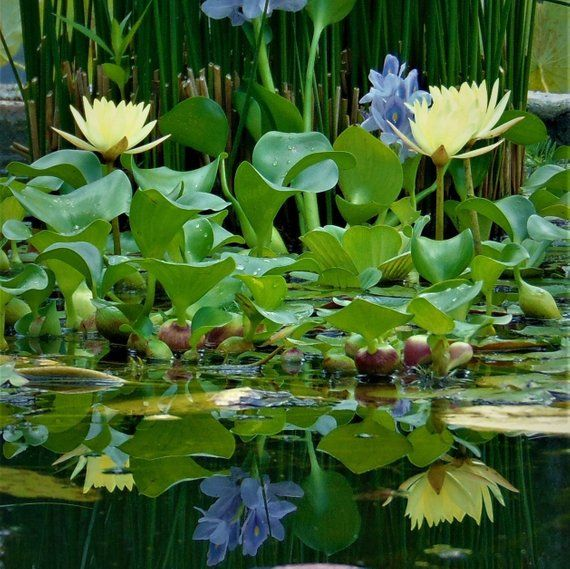 Water Hyacinth Live Koi Pond Plants 12 Live Plants Floating Pond Plants Pond Plants Water Pond
