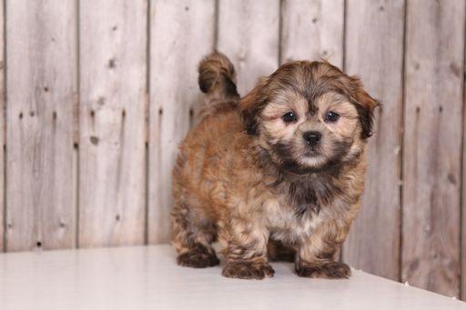 Zuchon puppy for sale in MOUNT VERNON, OH. ADN-32551 on PuppyFinder.com Gender: Male. Age: 8 Weeks Old
