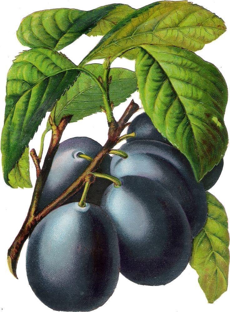 Oblaten Glanzbild scrap diecut chromo Obst 15,3 cm Frucht fruit Zwetschge plum: