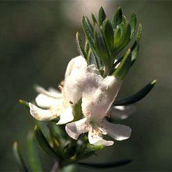 Westringia fruticosa- coastal rosemary