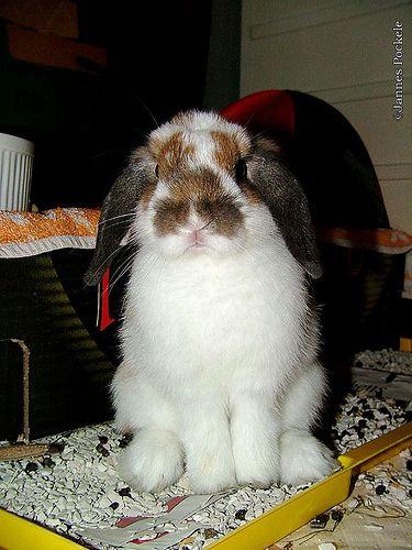 Litter Train a Rabbit Rabbit, Bunny care, Lop eared bunny
