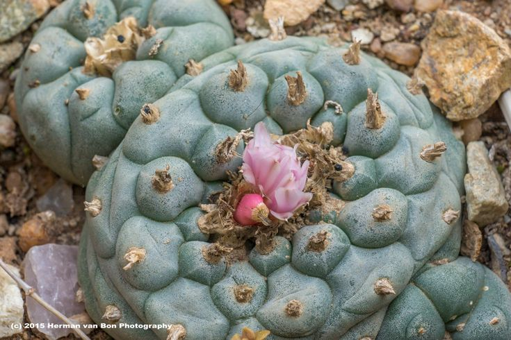 This is a flowering Lophophora williamsii; better known as the peyote cactus. In Mexican tradition only a shaman is allowed to use (chew) the dried slices of this cactus to enhance his visions. In ...