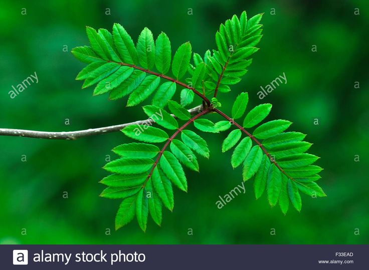 Mountain Ash, Quicken Tree, Rowan Tree: Sorbus aucuparia, is native to the UK and northern and western Europe.  Pinnate leaflets that make a dense rounded tree when mature - alamy.com