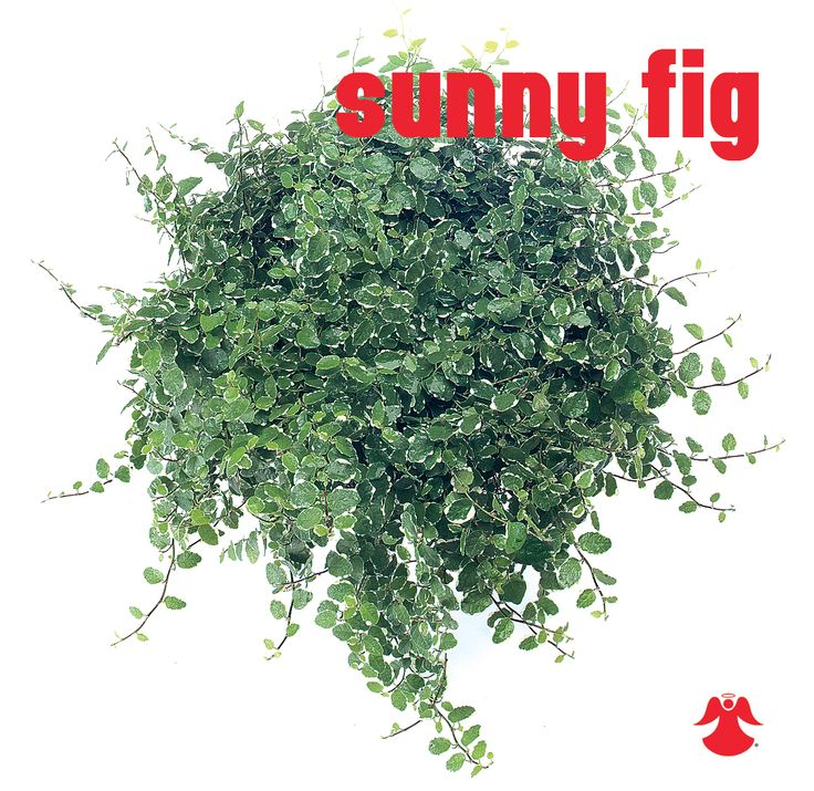 Ficus Sunny Fig. Ficus Pumila (aka creeping fig or climbing fig) is a species of flowering plant in the family Moraceae, native to East Asia.
