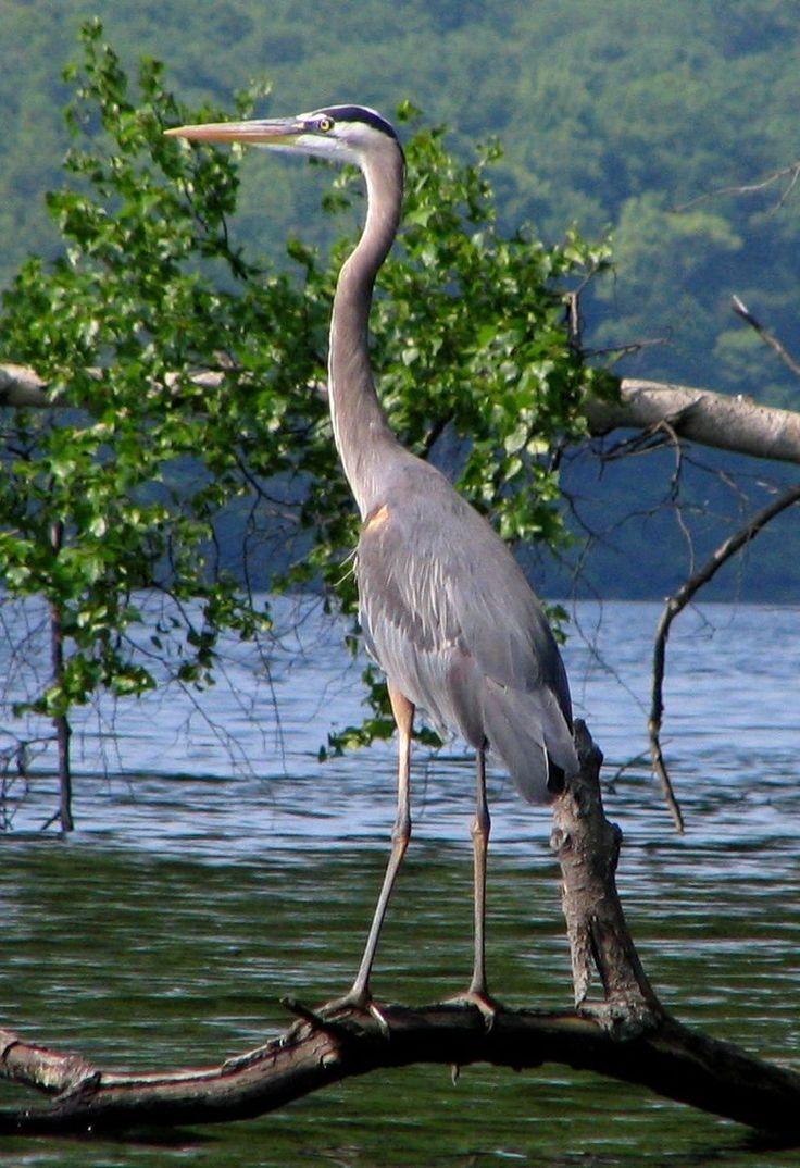 Great Blue Heron, Sebago Lake, New York