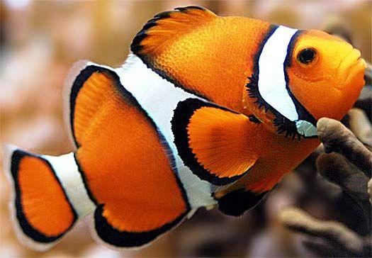 Clownfish - Amazing Symbiotic Partner