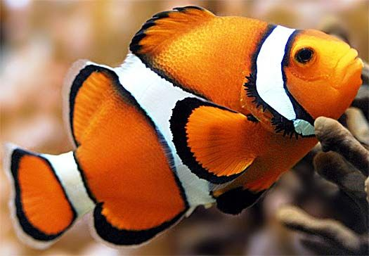 orange white clown fish