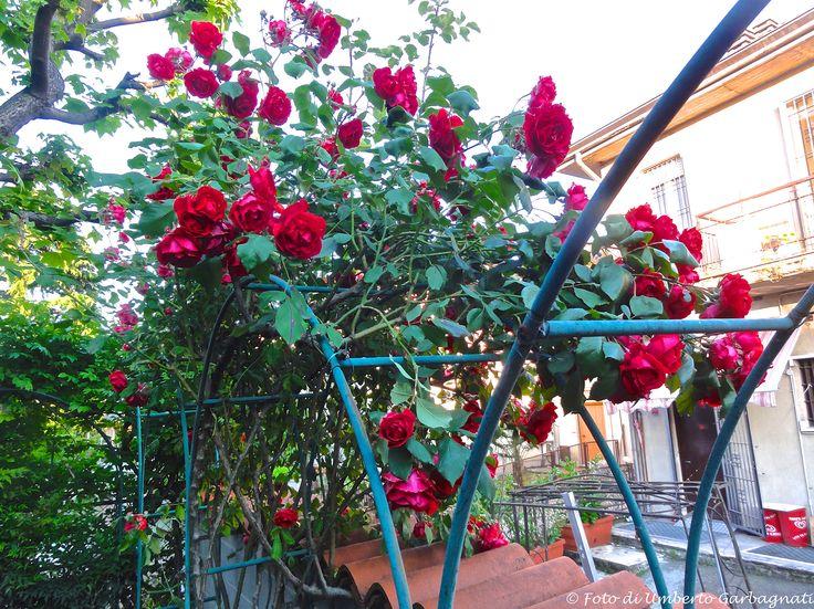 .... Rosa rampicante di colore rosso.... 09 mag 2017 - © Umberto Garbagnati -