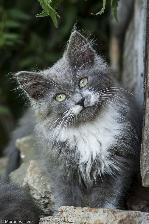 Fluffy White And Grey Cat 1000+ ideas abo...