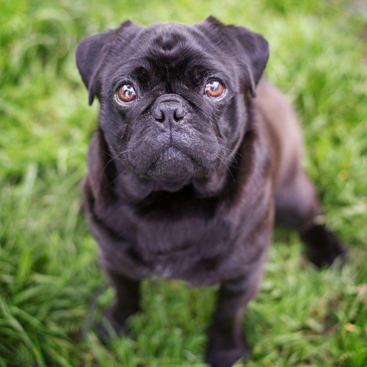 Pug - Yarra Valley Pet Photographer - Melbourne, Australia - Rescue Photography