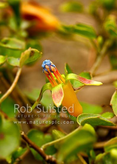 NZ native Creeping fuchsia, climbing or trailing fuchsia flowers (Fuchsia procumbens, Onagraceae), New Zealand (NZ) stock photo.