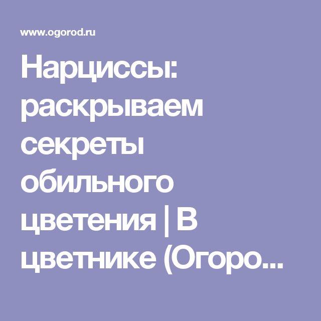 Нарциссы: раскрываем секреты обильного цветения   В цветнике (Огород.ru)
