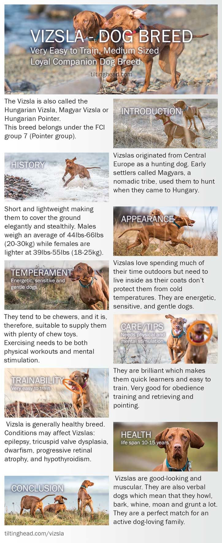 vizsla dog breed Infographic http://tiltinghead.com/vizsla/