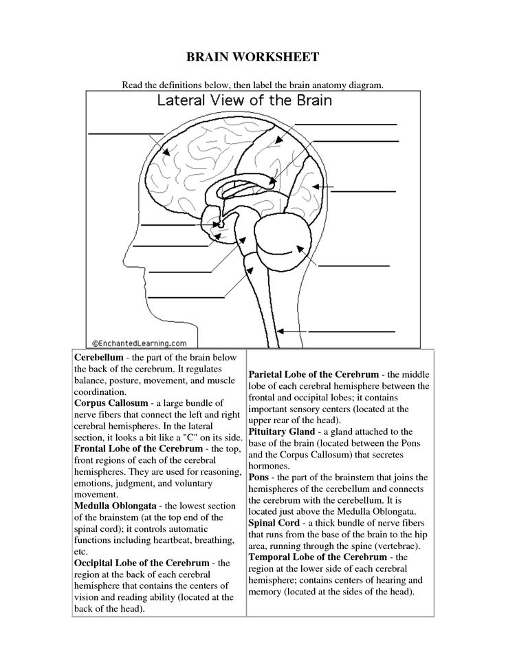 the human brain worksheets for kids Science human