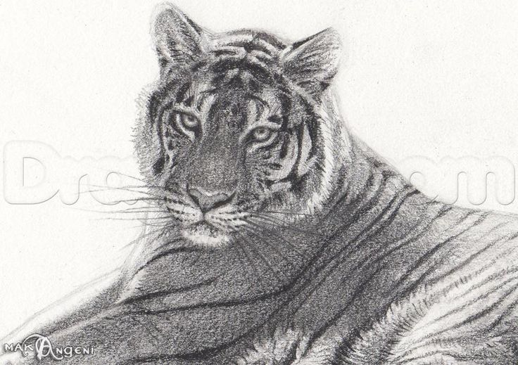 how to sketch a bengal tiger